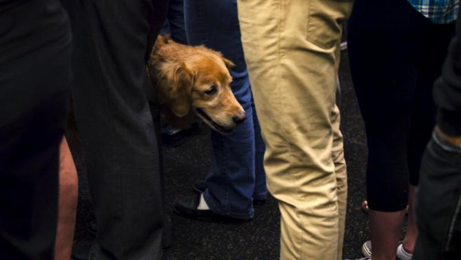 "A service dog stands amongst the crowd before Democratic presidential candidate Hillary Clinton speaks at a ""Women for Hillary"" meeting in Milwaukee, Wisconsin September 10, 2015. REUTERS/Darren Hauck"