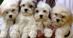 safe_image.fluffy-puppies